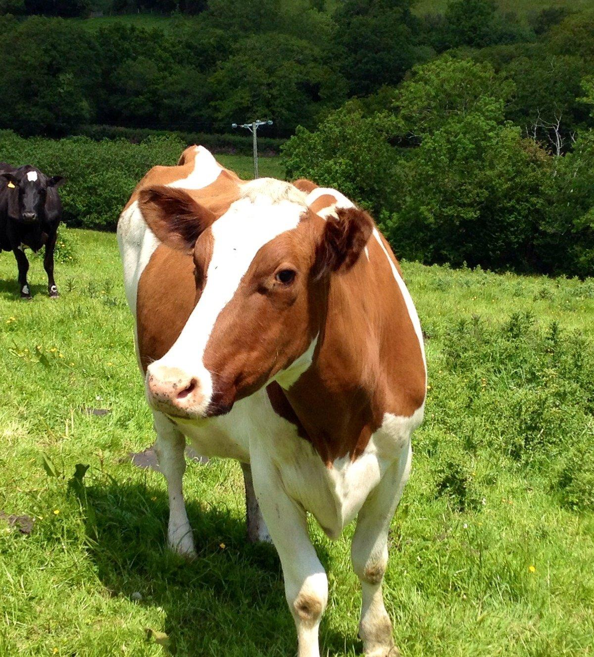 Free Range Dairy Cow