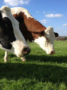 Free Range Dairy Cows Grazing