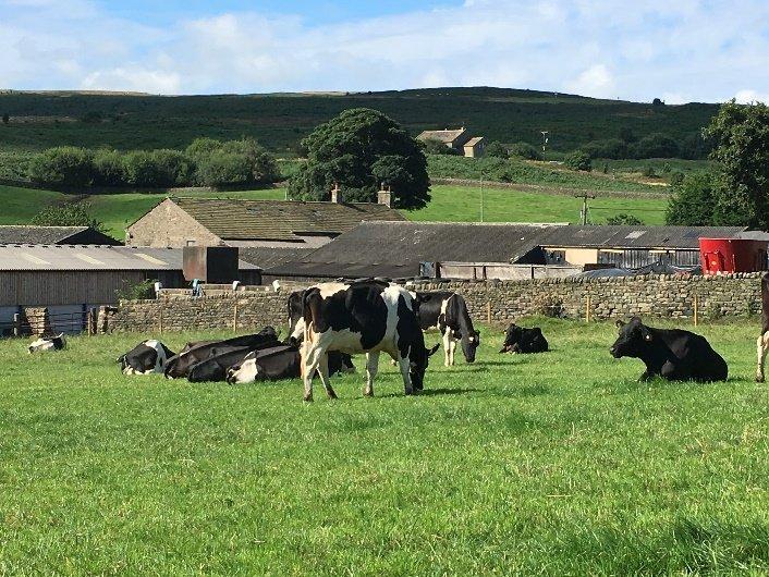 cows-lying-in-field