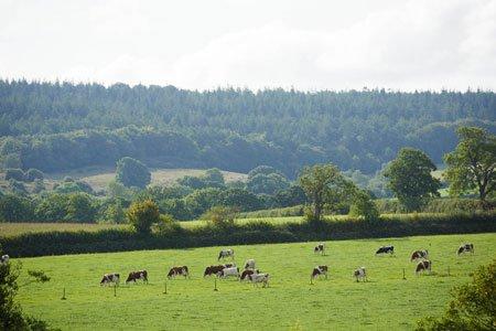 Free Range Dairy cows grazing