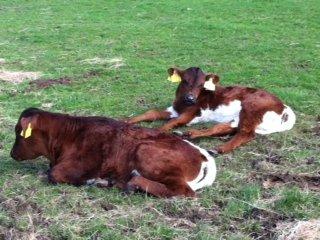 G_cows2