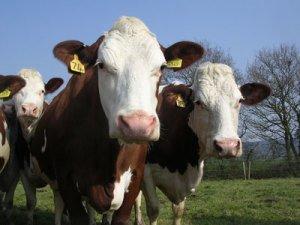 Free Range Dairy CAD Cows