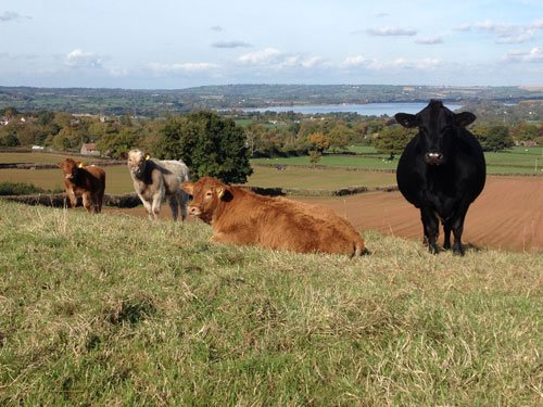 Free Range Dairy Suckler Beef