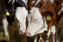 Free Range Dairy Calfs