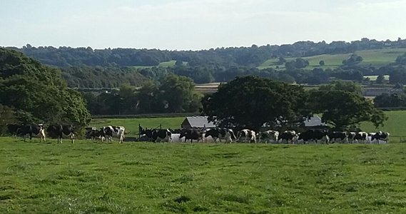 Free Range Dairy | Cows in field