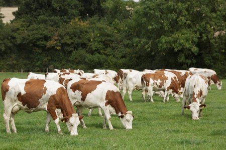 Free Range Dairy | Grazing Herd