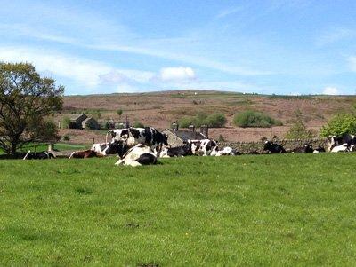 Free Range Dairy | Coates cows